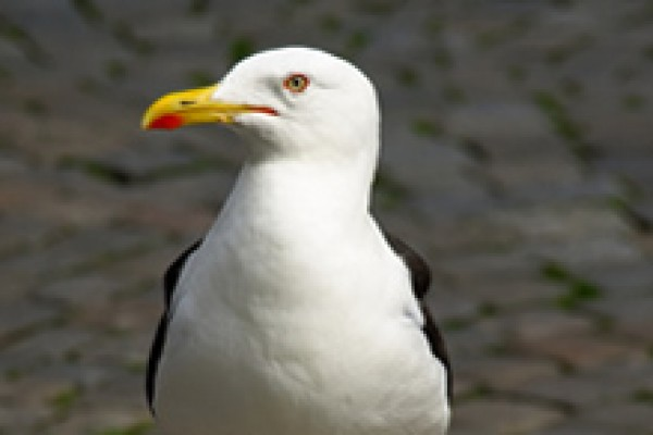 Seagull Deterrents and Seagull Scarers