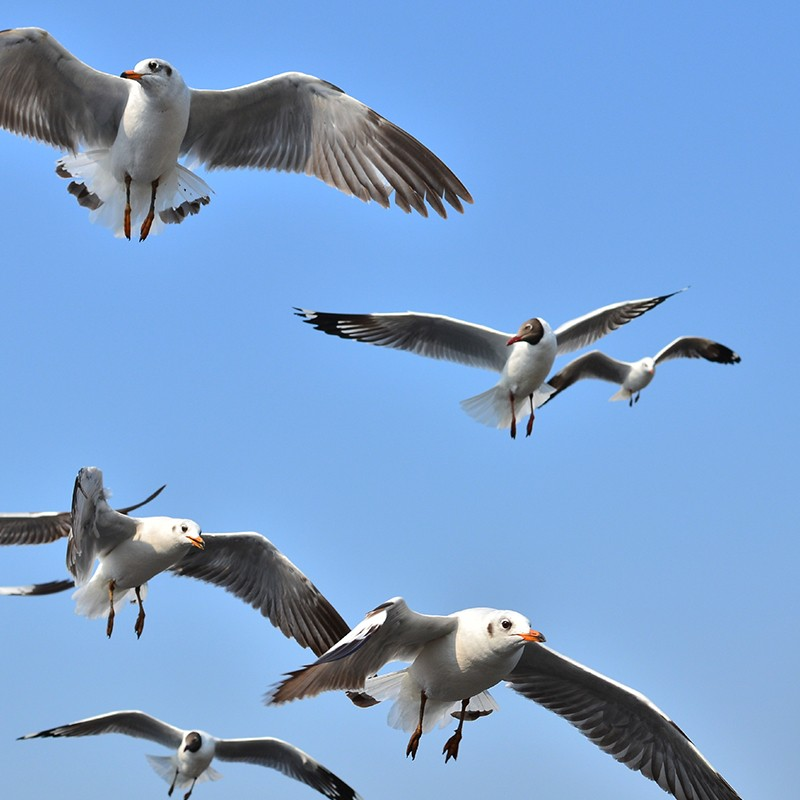 Seagull Breeding Season is well upon us - Eco Environmental