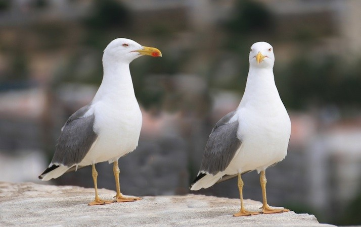 Deterrents for your property to prevent nesting seagulls