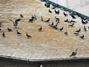 New London Primark store receives protective Pigeon Deterrent barrier