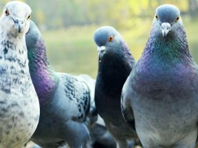 Anti Bird Net system and rapid response needed before Pigeon breeding season begins
