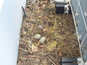 Is this the earliest pair of urban Herring Gull eggs in Wales?